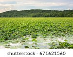 Small photo of American lotus on a marsh in Missouri.