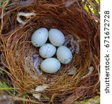 five house finch eggs in the... | Shutterstock . vector #671672728
