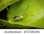 Small photo of Alydidae bug hidden on a tree leaf