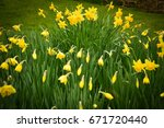 yellow daffodils field  sign of ...   Shutterstock . vector #671720440