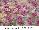 close view of all red leaf ... | Shutterstock . vector #67175395