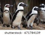 african penguin  spheniscus...   Shutterstock . vector #671784139