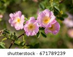 Beautiful Blooming Wild Rose...