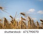 barley field  blur  close up of ...   Shutterstock . vector #671790070