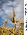 barley field  blur  close up of ...   Shutterstock . vector #671790100