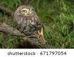 little owl or athene noctua... | Shutterstock . vector #671797054