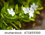 water drops white flowers and... | Shutterstock . vector #671855500