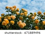 Stock photo yellow roses on the blue sky background yellow roses on a bush in a garden close up of garden 671889496