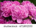pink peonies in the garden....   Shutterstock . vector #671892553