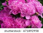 pink peonies in the garden....   Shutterstock . vector #671892958