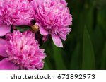 pink peonies in the garden....   Shutterstock . vector #671892973
