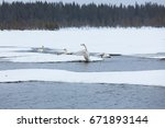 Swans On Partially Frozen Lake...