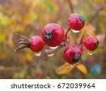 Red Berries Of Dog Rose With...