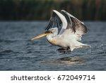 beautiful and big pelican   | Shutterstock . vector #672049714