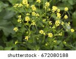 Small photo of Yellow small bouachet flowers oboyate in the garden (Alyssum obovatum)