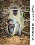 vervet monkey mother sitting on ... | Shutterstock . vector #672130903