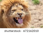 Stock photo lion pulling a funny face animal tongue and canine teeth top dangerous predator with a look of 672162010