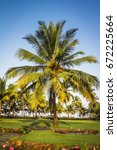 A Beautiful Crown Palm Trees O...