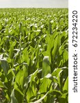 Small photo of Corn fields in summer, Amish Country, Lancaster County, Pennsylvania, USA