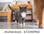gray british shorthair cats ... | Shutterstock . vector #672340960