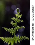Small photo of Bracken Polypodiopsida