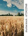 a field of wheat. ukrainian...
