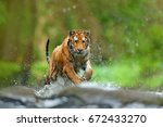 Tiger With Splash River Water....