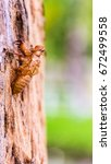 Small photo of Insect molting, cicada molt on tree, with nature blurred background.