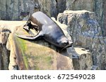 Brown Fur Seal  Arctocephalus...