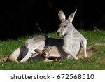 Red Kangaroo  Macropus Rufus ....