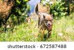 the german shepherd is a breed...   Shutterstock . vector #672587488