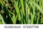 Grasshopper In A Leaf In The...