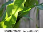 natural green background  corn... | Shutterstock . vector #672608254
