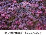Small photo of japanese maple, acer japonicum. background