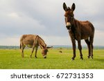 Two Curious Donkeys On The...