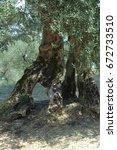 olive tree | Shutterstock . vector #672733510