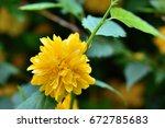 yellow flower    Shutterstock . vector #672785683