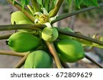 Papaya Flower And Fruits In The ...