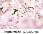 cherry blossoms in full bloom | Shutterstock . vector #672822706