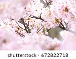 cherry blossoms in full bloom | Shutterstock . vector #672822718