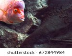 Red Hump Head Fish In The...