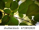 Small photo of Leaves of red alder (Alnus rubra), a tree native to the Pacific Northwest region of the United States