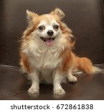 brown chihuahua dog | Shutterstock . vector #672861838
