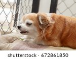 brown chihuahua dog | Shutterstock . vector #672861850