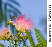 Small photo of Flowers and buds on blooming Persian silk tree, Albizia julibrissin, with bokeh background, close-up, selective focus, shallow DOF