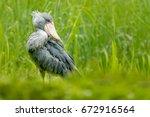 shoebill  balaeniceps rex ... | Shutterstock . vector #672916564