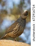 Small photo of scaled quail, Callipepla squamata, looking around on top of rock
