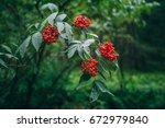 sambucus racemosa | Shutterstock . vector #672979840