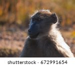 Female Baboon. Adult Female...