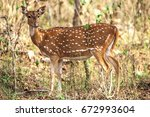 spotted deer or axis deer   Shutterstock . vector #672993604